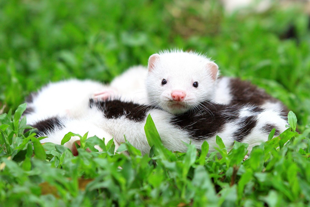 White and Brown European Mink in green grass